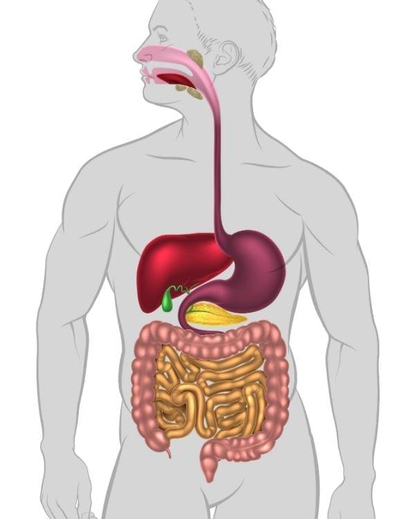bouche-aesophage-estomac-rectum-fr